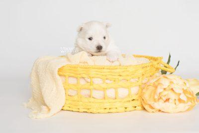 puppy198 week3 BowTiePomsky.com Bowtie Pomsky Puppy For Sale Husky Pomeranian Mini Dog Spokane WA Breeder Blue Eyes Pomskies Celebrity Puppy web5