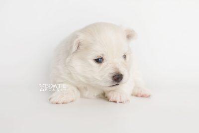 puppy198 week3 BowTiePomsky.com Bowtie Pomsky Puppy For Sale Husky Pomeranian Mini Dog Spokane WA Breeder Blue Eyes Pomskies Celebrity Puppy web7