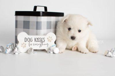 puppy198 week5 BowTiePomsky.com Bowtie Pomsky Puppy For Sale Husky Pomeranian Mini Dog Spokane WA Breeder Blue Eyes Pomskies Celebrity Puppy web3