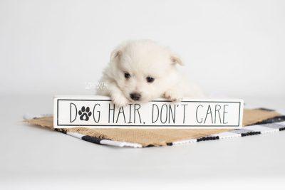 puppy198 week5 BowTiePomsky.com Bowtie Pomsky Puppy For Sale Husky Pomeranian Mini Dog Spokane WA Breeder Blue Eyes Pomskies Celebrity Puppy web6