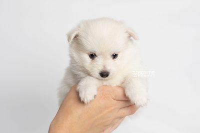 puppy198 week5 BowTiePomsky.com Bowtie Pomsky Puppy For Sale Husky Pomeranian Mini Dog Spokane WA Breeder Blue Eyes Pomskies Celebrity Puppy web9