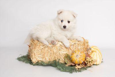 puppy198 week7 BowTiePomsky.com Bowtie Pomsky Puppy For Sale Husky Pomeranian Mini Dog Spokane WA Breeder Blue Eyes Pomskies Celebrity Puppy web3