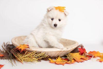 puppy198 week7 BowTiePomsky.com Bowtie Pomsky Puppy For Sale Husky Pomeranian Mini Dog Spokane WA Breeder Blue Eyes Pomskies Celebrity Puppy web5