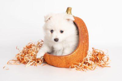 puppy198 week7 BowTiePomsky.com Bowtie Pomsky Puppy For Sale Husky Pomeranian Mini Dog Spokane WA Breeder Blue Eyes Pomskies Celebrity Puppy web6