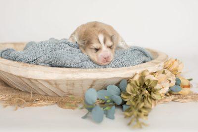 puppy199 week1 BowTiePomsky.com Bowtie Pomsky Puppy For Sale Husky Pomeranian Mini Dog Spokane WA Breeder Blue Eyes Pomskies Celebrity Puppy web2
