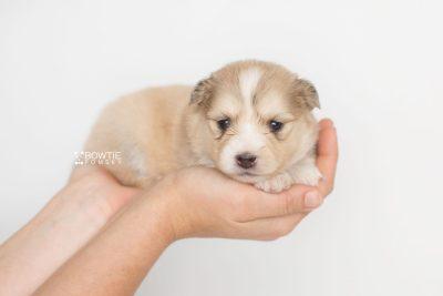 puppy199 week3 BowTiePomsky.com Bowtie Pomsky Puppy For Sale Husky Pomeranian Mini Dog Spokane WA Breeder Blue Eyes Pomskies Celebrity Puppy web11