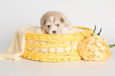 puppy199 week3 BowTiePomsky.com Bowtie Pomsky Puppy For Sale Husky Pomeranian Mini Dog Spokane WA Breeder Blue Eyes Pomskies Celebrity Puppy web7