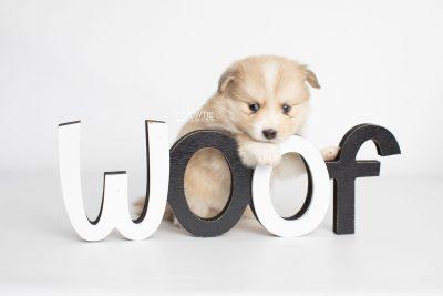 puppy199 week5 BowTiePomsky.com Bowtie Pomsky Puppy For Sale Husky Pomeranian Mini Dog Spokane WA Breeder Blue Eyes Pomskies Celebrity Puppy web3