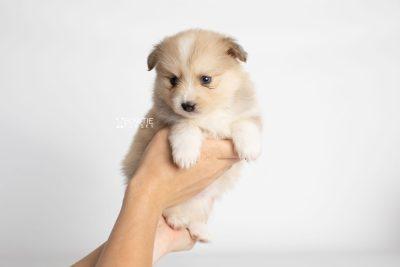 puppy199 week5 BowTiePomsky.com Bowtie Pomsky Puppy For Sale Husky Pomeranian Mini Dog Spokane WA Breeder Blue Eyes Pomskies Celebrity Puppy web7