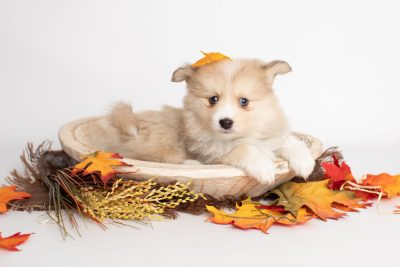 puppy199 week7 BowTiePomsky.com Bowtie Pomsky Puppy For Sale Husky Pomeranian Mini Dog Spokane WA Breeder Blue Eyes Pomskies Celebrity Puppy web4