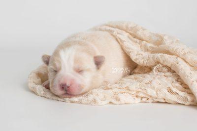 puppy201 week1 BowTiePomsky.com Bowtie Pomsky Puppy For Sale Husky Pomeranian Mini Dog Spokane WA Breeder Blue Eyes Pomskies Celebrity Puppy web6