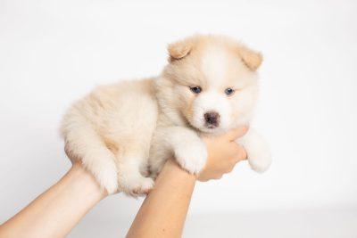 puppy201 week5 BowTiePomsky.com Bowtie Pomsky Puppy For Sale Husky Pomeranian Mini Dog Spokane WA Breeder Blue Eyes Pomskies Celebrity Puppy web7