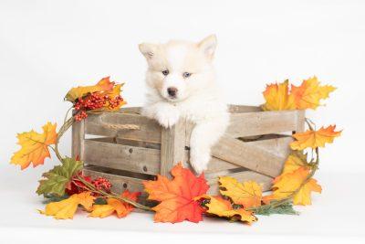 puppy201 week7 BowTiePomsky.com Bowtie Pomsky Puppy For Sale Husky Pomeranian Mini Dog Spokane WA Breeder Blue Eyes Pomskies Celebrity Puppy web3
