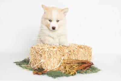 puppy201 week7 BowTiePomsky.com Bowtie Pomsky Puppy For Sale Husky Pomeranian Mini Dog Spokane WA Breeder Blue Eyes Pomskies Celebrity Puppy web4