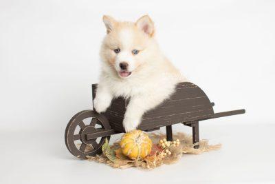 puppy201 week7 BowTiePomsky.com Bowtie Pomsky Puppy For Sale Husky Pomeranian Mini Dog Spokane WA Breeder Blue Eyes Pomskies Celebrity Puppy web6