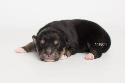 puppy202 week1 BowTiePomsky.com Bowtie Pomsky Puppy For Sale Husky Pomeranian Mini Dog Spokane WA Breeder Blue Eyes Pomskies Celebrity Puppy web3