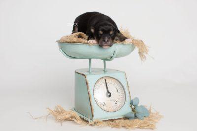 puppy202 week1 BowTiePomsky.com Bowtie Pomsky Puppy For Sale Husky Pomeranian Mini Dog Spokane WA Breeder Blue Eyes Pomskies Celebrity Puppy web6