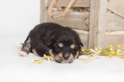 puppy202 week3 BowTiePomsky.com Bowtie Pomsky Puppy For Sale Husky Pomeranian Mini Dog Spokane WA Breeder Blue Eyes Pomskies Celebrity Puppy web1