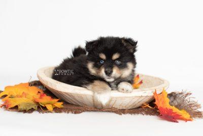 puppy202 week7 BowTiePomsky.com Bowtie Pomsky Puppy For Sale Husky Pomeranian Mini Dog Spokane WA Breeder Blue Eyes Pomskies Celebrity Puppy web7