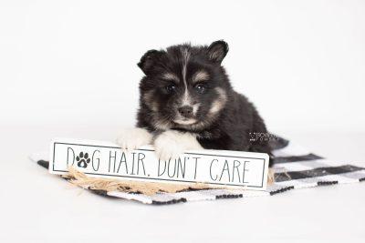 puppy203 week5 BowTiePomsky.com Bowtie Pomsky Puppy For Sale Husky Pomeranian Mini Dog Spokane WA Breeder Blue Eyes Pomskies Celebrity Puppy web1