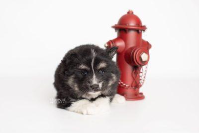 puppy203 week5 BowTiePomsky.com Bowtie Pomsky Puppy For Sale Husky Pomeranian Mini Dog Spokane WA Breeder Blue Eyes Pomskies Celebrity Puppy web4