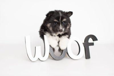 puppy203 week5 BowTiePomsky.com Bowtie Pomsky Puppy For Sale Husky Pomeranian Mini Dog Spokane WA Breeder Blue Eyes Pomskies Celebrity Puppy web5