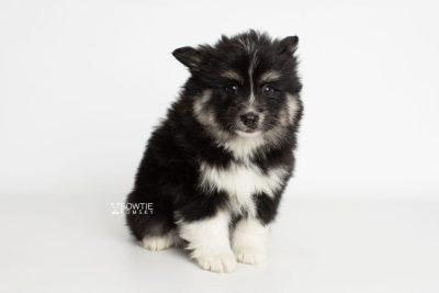 puppy203 week7 BowTiePomsky.com Bowtie Pomsky Puppy For Sale Husky Pomeranian Mini Dog Spokane WA Breeder Blue Eyes Pomskies Celebrity Puppy web1