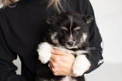 puppy203 week7 BowTiePomsky.com Bowtie Pomsky Puppy For Sale Husky Pomeranian Mini Dog Spokane WA Breeder Blue Eyes Pomskies Celebrity Puppy web2