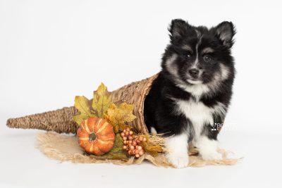 puppy203 week7 BowTiePomsky.com Bowtie Pomsky Puppy For Sale Husky Pomeranian Mini Dog Spokane WA Breeder Blue Eyes Pomskies Celebrity Puppy web7