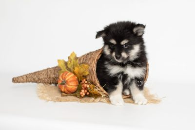 puppy205 week7 BowTiePomsky.com Bowtie Pomsky Puppy For Sale Husky Pomeranian Mini Dog Spokane WA Breeder Blue Eyes Pomskies Celebrity Puppy web7
