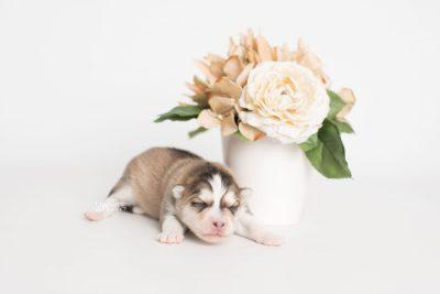 puppy206 week1 BowTiePomsky.com Bowtie Pomsky Puppy For Sale Husky Pomeranian Mini Dog Spokane WA Breeder Blue Eyes Pomskies Celebrity Puppy web2