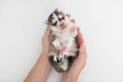 puppy206 week1 BowTiePomsky.com Bowtie Pomsky Puppy For Sale Husky Pomeranian Mini Dog Spokane WA Breeder Blue Eyes Pomskies Celebrity Puppy web8