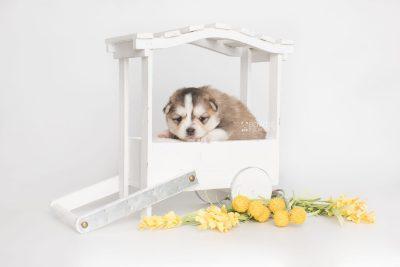 puppy206 week3 BowTiePomsky.com Bowtie Pomsky Puppy For Sale Husky Pomeranian Mini Dog Spokane WA Breeder Blue Eyes Pomskies Celebrity Puppy web2