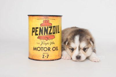 puppy206 week3 BowTiePomsky.com Bowtie Pomsky Puppy For Sale Husky Pomeranian Mini Dog Spokane WA Breeder Blue Eyes Pomskies Celebrity Puppy web4