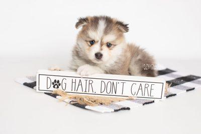 puppy206 week5 BowTiePomsky.com Bowtie Pomsky Puppy For Sale Husky Pomeranian Mini Dog Spokane WA Breeder Blue Eyes Pomskies Celebrity Puppy web1