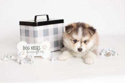 puppy206 week5 BowTiePomsky.com Bowtie Pomsky Puppy For Sale Husky Pomeranian Mini Dog Spokane WA Breeder Blue Eyes Pomskies Celebrity Puppy web4