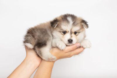 puppy206 week5 BowTiePomsky.com Bowtie Pomsky Puppy For Sale Husky Pomeranian Mini Dog Spokane WA Breeder Blue Eyes Pomskies Celebrity Puppy web7