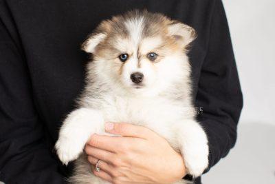 puppy206 week7 BowTiePomsky.com Bowtie Pomsky Puppy For Sale Husky Pomeranian Mini Dog Spokane WA Breeder Blue Eyes Pomskies Celebrity Puppy web2