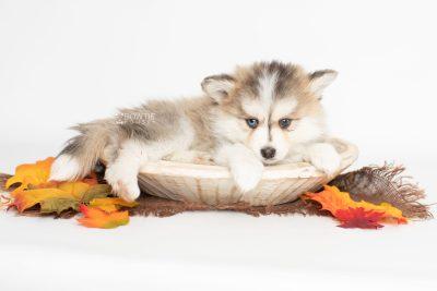 puppy206 week7 BowTiePomsky.com Bowtie Pomsky Puppy For Sale Husky Pomeranian Mini Dog Spokane WA Breeder Blue Eyes Pomskies Celebrity Puppy web5