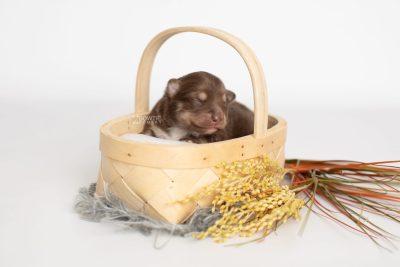 puppy210 week1 BowTiePomsky.com Bowtie Pomsky Puppy For Sale Husky Pomeranian Mini Dog Spokane WA Breeder Blue Eyes Pomskies Celebrity Puppy web1
