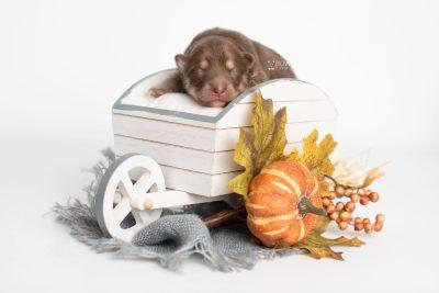 puppy210 week1 BowTiePomsky.com Bowtie Pomsky Puppy For Sale Husky Pomeranian Mini Dog Spokane WA Breeder Blue Eyes Pomskies Celebrity Puppy web2