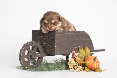 puppy210 week3 BowTiePomsky.com Bowtie Pomsky Puppy For Sale Husky Pomeranian Mini Dog Spokane WA Breeder Blue Eyes Pomskies Celebrity Puppy web3