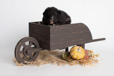 puppy213 week1 BowTiePomsky.com Bowtie Pomsky Puppy For Sale Husky Pomeranian Mini Dog Spokane WA Breeder Blue Eyes Pomskies Celebrity Puppy web3