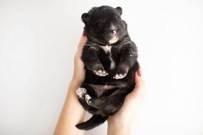 puppy213 week1 BowTiePomsky.com Bowtie Pomsky Puppy For Sale Husky Pomeranian Mini Dog Spokane WA Breeder Blue Eyes Pomskies Celebrity Puppy web9
