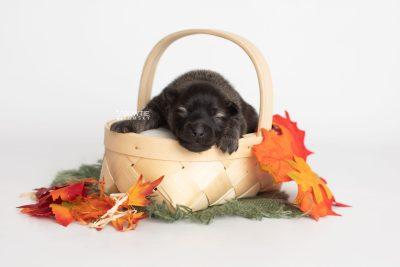 puppy214 week1 BowTiePomsky.com Bowtie Pomsky Puppy For Sale Husky Pomeranian Mini Dog Spokane WA Breeder Blue Eyes Pomskies Celebrity Puppy web3
