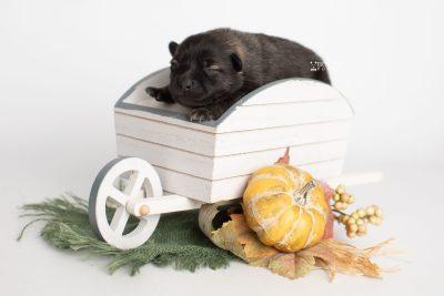 puppy214 week1 BowTiePomsky.com Bowtie Pomsky Puppy For Sale Husky Pomeranian Mini Dog Spokane WA Breeder Blue Eyes Pomskies Celebrity Puppy web4
