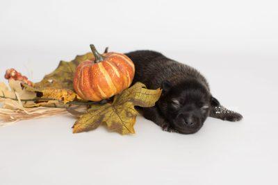 puppy214 week1 BowTiePomsky.com Bowtie Pomsky Puppy For Sale Husky Pomeranian Mini Dog Spokane WA Breeder Blue Eyes Pomskies Celebrity Puppy web5