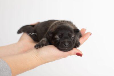puppy214 week1 BowTiePomsky.com Bowtie Pomsky Puppy For Sale Husky Pomeranian Mini Dog Spokane WA Breeder Blue Eyes Pomskies Celebrity Puppy web7