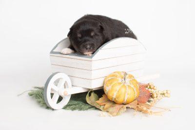 puppy217 week1 BowTiePomsky.com Bowtie Pomsky Puppy For Sale Husky Pomeranian Mini Dog Spokane WA Breeder Blue Eyes Pomskies Celebrity Puppy web4