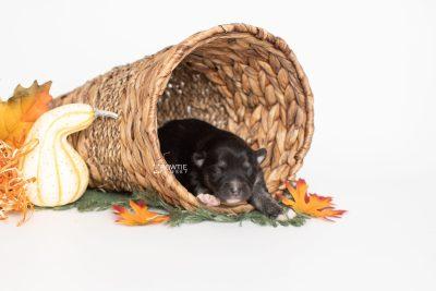 puppy222 week1 BowTiePomsky.com Bowtie Pomsky Puppy For Sale Husky Pomeranian Mini Dog Spokane WA Breeder Blue Eyes Pomskies Celebrity Puppy web2